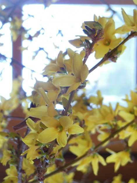Forsythia in bud and bloom: flowers tenderly excite our eyes.