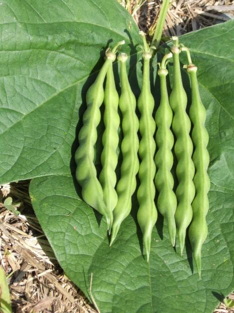 TT heirloom Aunt Ada ready for eating as tender green bean.