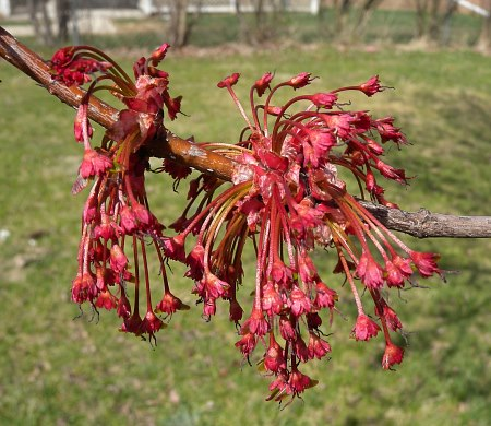 Female red maple flowers. Photo: http://www.illinoiswildflowers.info/trees/plants/red_maple.html --