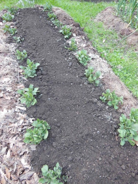 Potato plants, earth hilled around stems once in early June. Dill seeds broadcast on open ground. Rotted hay and leaf mulch along edges. Photo by Judy Isacoff