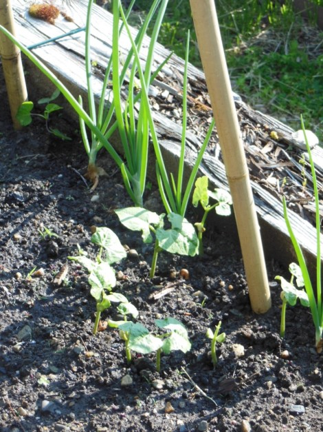 Aunt Ada pole bean seedlings at the base of a teepee pole. Scallions almost ready for  pulling. Photo by Judy Isacoff