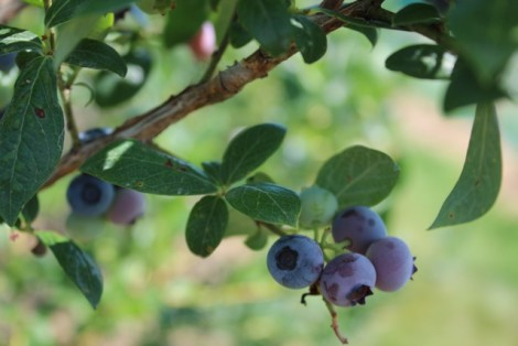 EATING IN SEASON: Blueberry bonanza