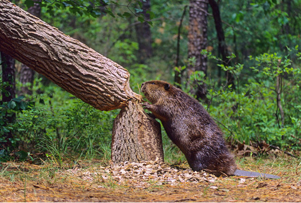 Dam It: Partnering with Beavers to Heal the Planet by author Ben Goldfarb